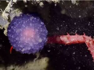 Scientists from the Nautilus exploration vessel found this bright purple orb near California's Channel Islands.