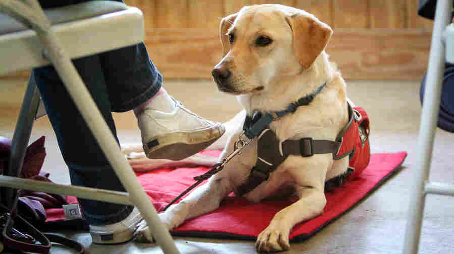 Diabetes alert dogs are trained to detect low blood glucose in a person. The dogs can cost $20,000, but little research has been done on their effectiveness.