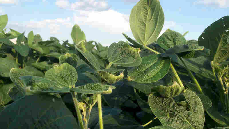How Monsanto And Scofflaw Farmers Hurt Soybeans In Arkansas