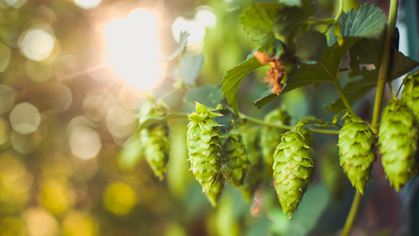 Hop Growers Cheer Craft Brewers For Saving An Ailing -5430