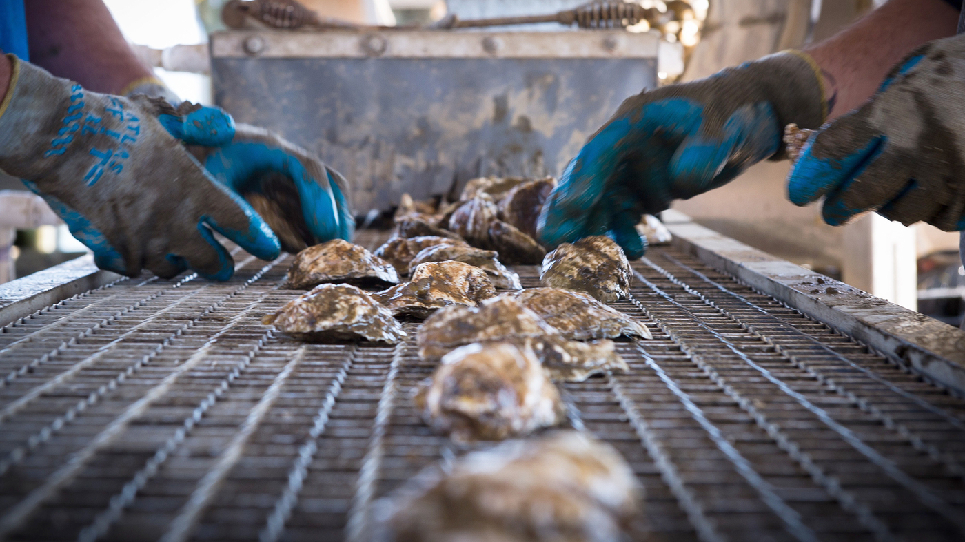The Oyster S Mighty Comeback Is Creating Cleaner U S