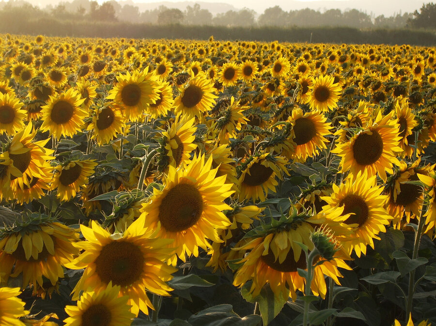 the mystery of why sunflowers turn to follow the sun  solved, Beautiful flower