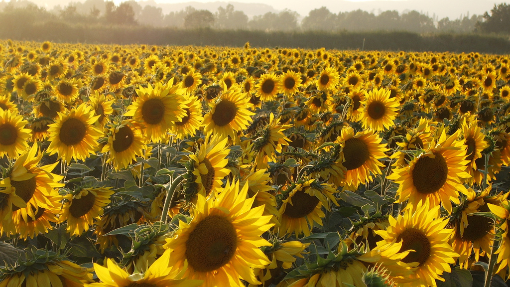 The mystery of why sunflowers turn to follow the sun solved the the mystery of why sunflowers turn to follow the sun solved the two way npr mightylinksfo