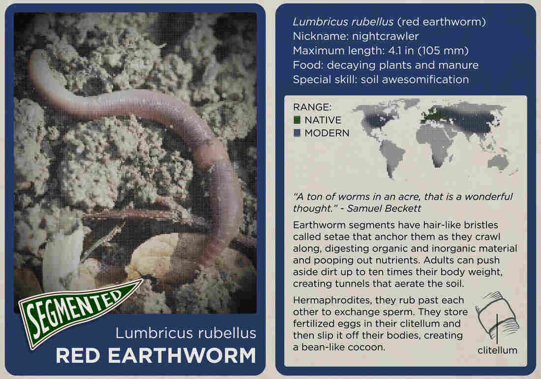 The red earthworm.