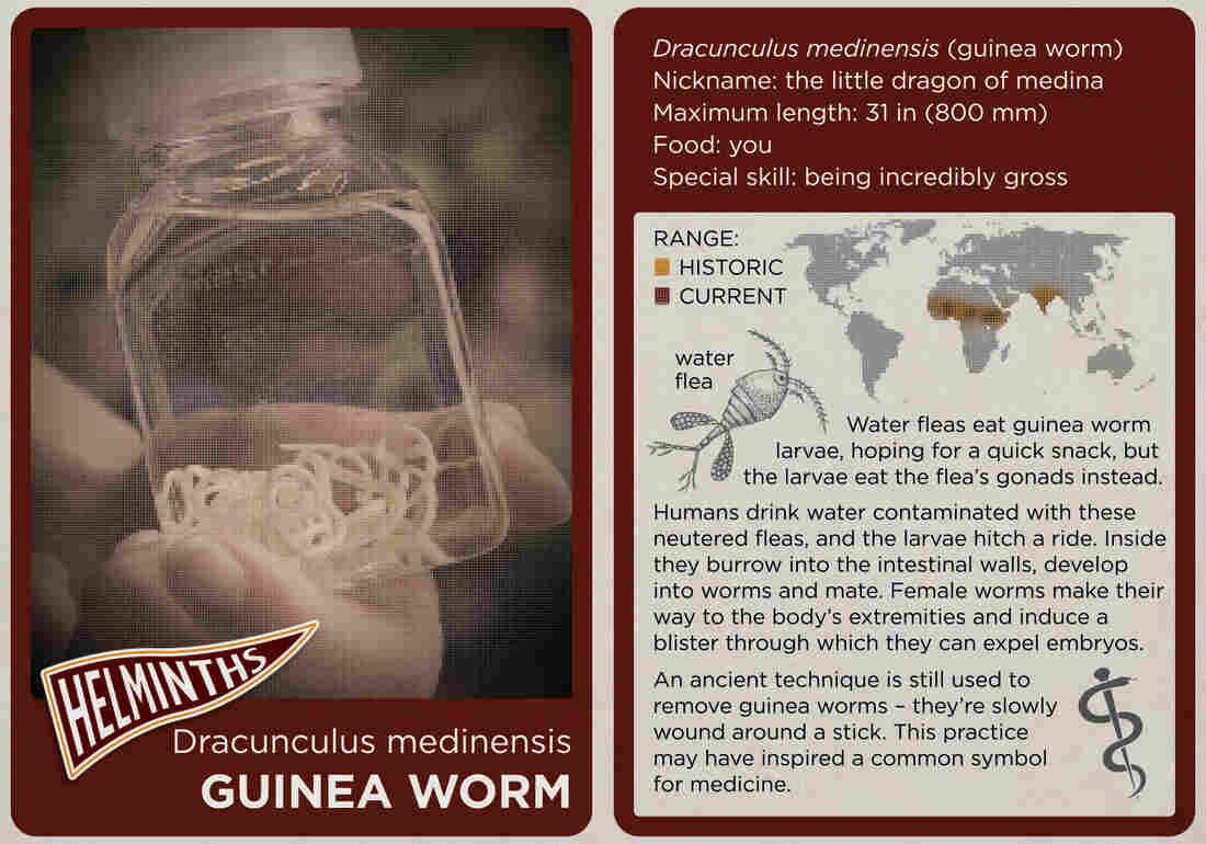 The guinea worm.