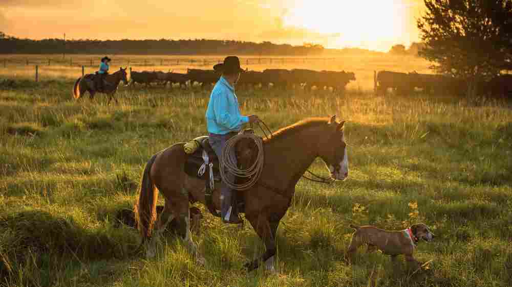 South Florida's Seminole Cowboys: Cattle Is 'In Our DNA'