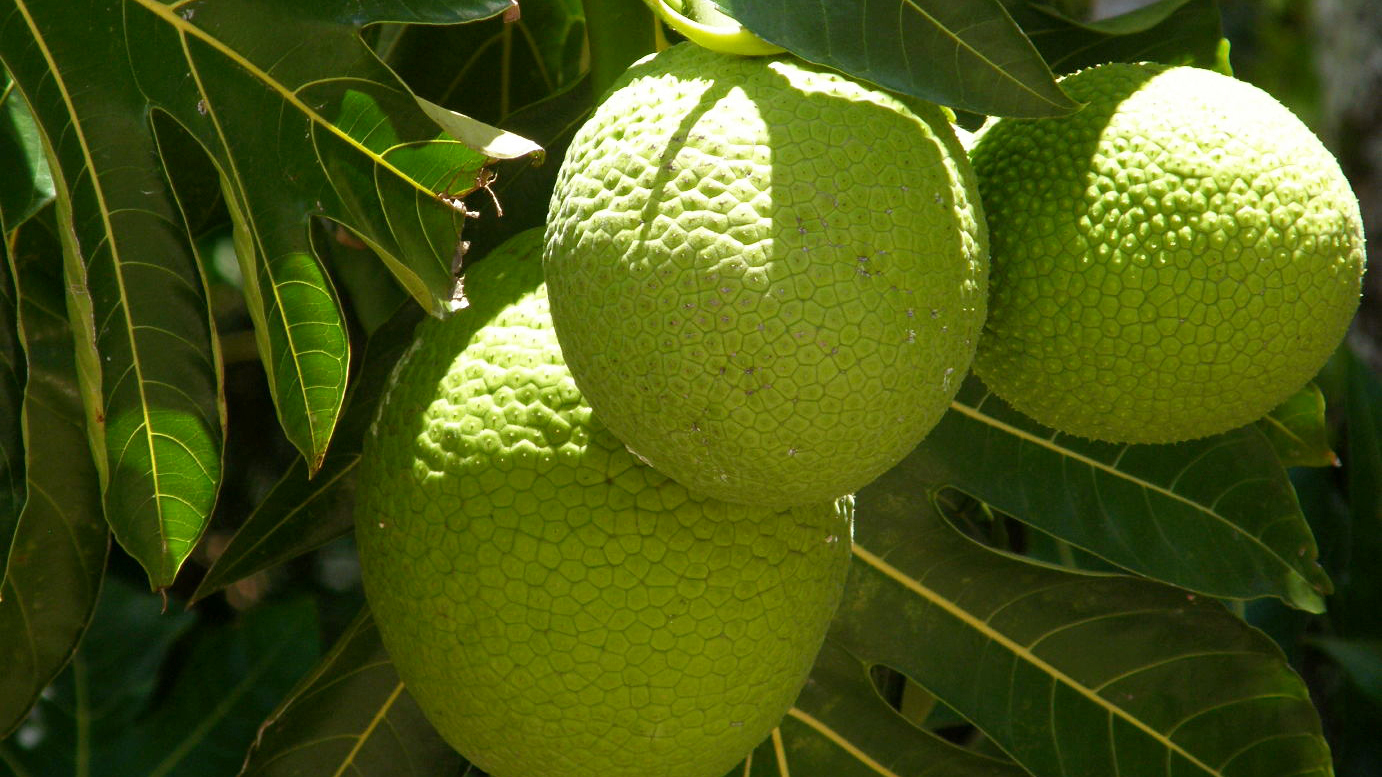 Breadfruit and Its Uses