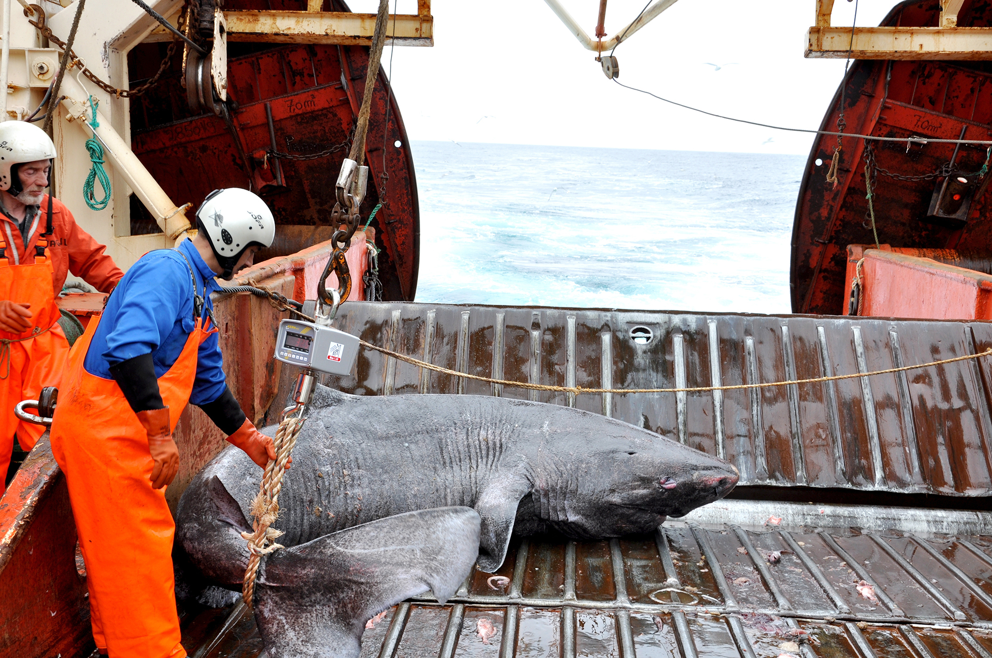 Talk About An Ancient Mariner! Greenland Shark Is At Least 272 Years Old