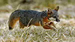 Once Nearly Extinct California Island Foxes No Longer Endangered