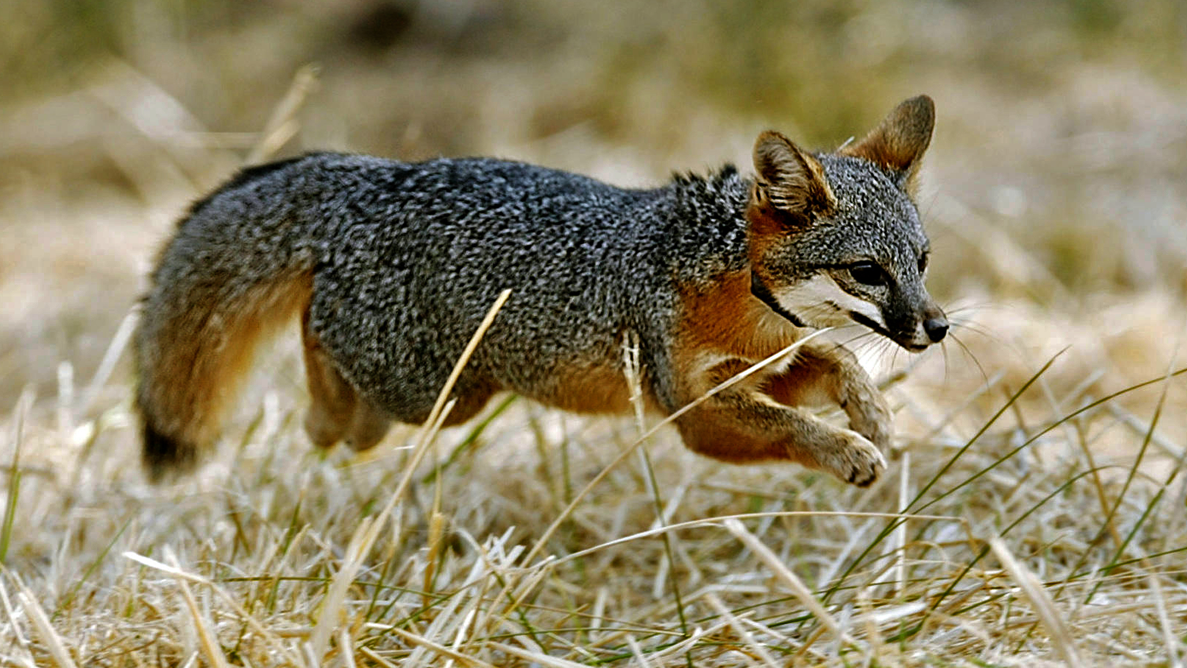 Island foxes bounce back from near extinction