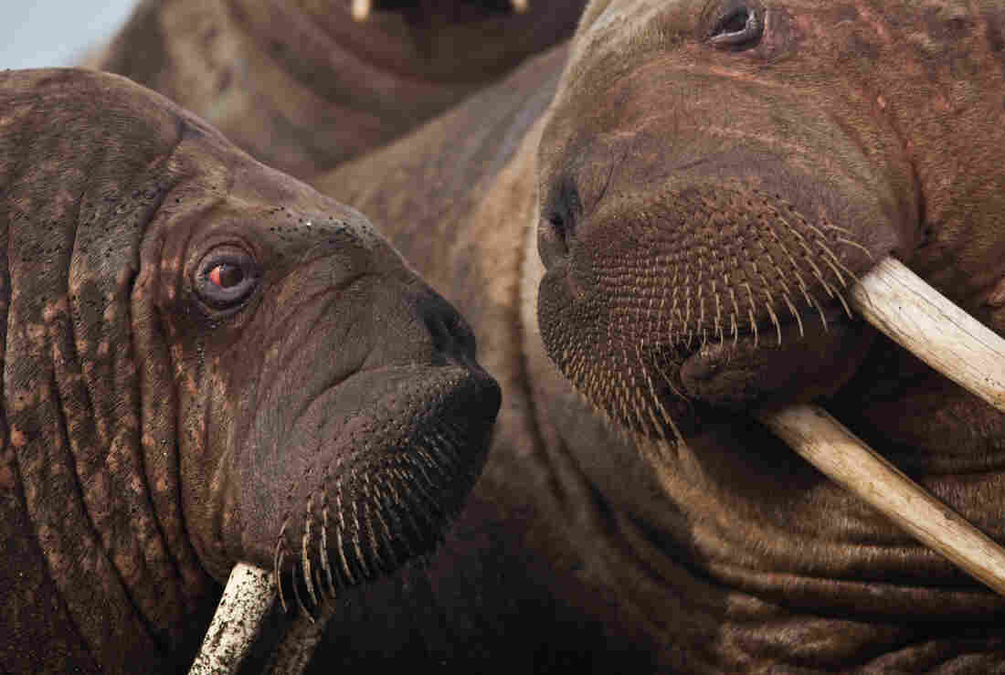 Walruses are very social animals.