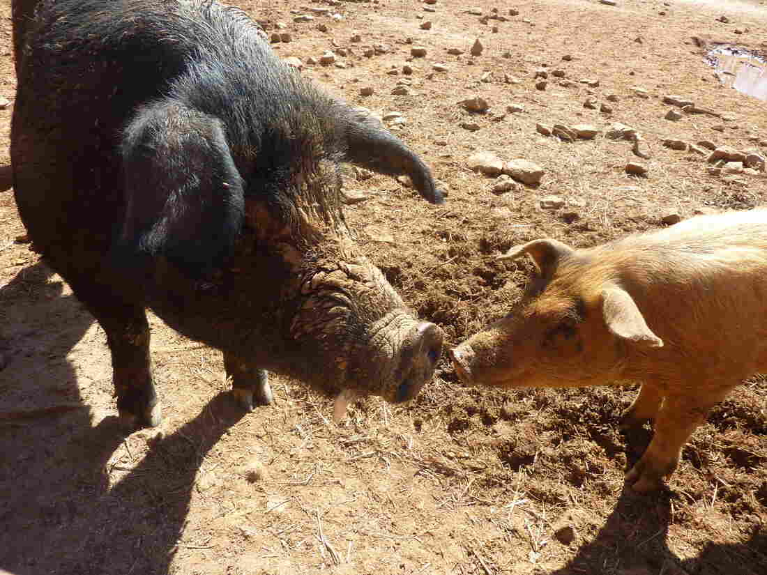 Porcine encounter at North Carolina's Cane Creek Farm.