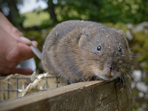About 100 water voles are being reintroduced at Malham Tarn, a lake in North Yorkshire in England. This is the first time the endangered mammals have been seen in the area in 50 years.