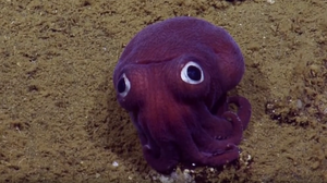 'Googly-Eyed' Stubby Squid Captures Internet's Attention