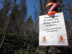 This year the U.S. Forest Service is only issuing personal use permits in Montana's national forests.