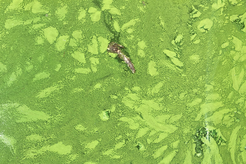 poisonous algae blooms threaten people ecosystems across u s npr