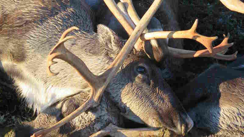 323 Reindeer Killed In Lightning Storm In Norway