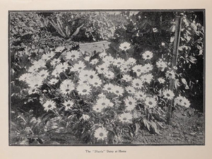 Luther Burbank also introduced the Shasta daisy to gardens across the Northwest – and the predecessor of the potato variety used by McDonald's to make its famous fries.