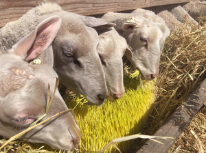 These Central Valley sheep are happily munching on sprouted barley grown indoors. Farmer Mario Daccarett says the barley, grown in shipping containers, is sweet and keep his sheep full for longer.