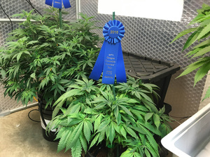 The first place Sativa variety cannabis plant at the Oregon State Fair in Salem.