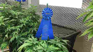 Cannabis Growers Seek Blue Ribbons For Their Buds At Oregon's State Fair