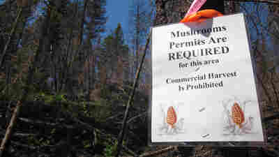 Banned From National Forest, For-Profit Mushroom Pickers Go Underground