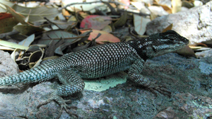 For Lizards, Climate Change Is A Deadly — And Complex — Threat