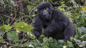 How Hybrid Seeds Could Help The Mountain Gorillas Of Congo