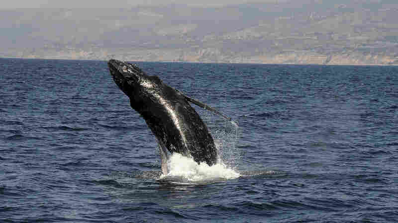 Most Humpback Whales Off Endangered List In 'Ecological Success Story'