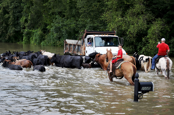 Cattle had to be driven through the waters of a flooded road and then trucked to higher ground on Aug. 16 in Sorrento, La. About a third of the flooding in the state last month occurred outside the local flood plain.