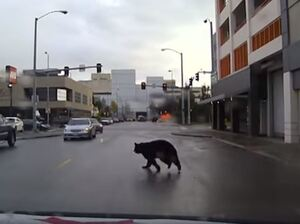 The Anchorage Police Department captured video of a black bear roaming the city's streets.