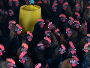 Chickens at a poultry farm in Hefei, eastern China. Antibiotics are often used to keep them healthy in densely packed quarters.