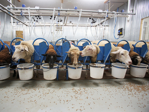 "While feasting on a breakfast of hearty grains, the ewes at Dayspring Dairy are milked in two aisles with 12 ewes per aisle, with three milking groups per session. Some have first names, such as ""Valentine,"" ""Fuzzy Nibbleton,"" ""July,"" ""Cannonball,"" and ""Latte."""