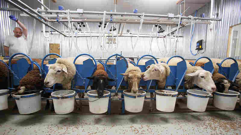 They Dreamed Of Sheep (Farming): Peek Inside An Alabama Dairy