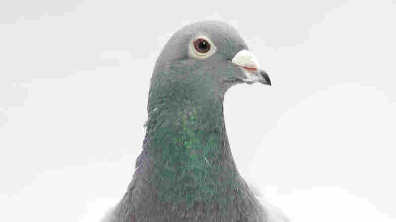 Can Pigeons Spell? New Study Suggests They Can Recognize Words