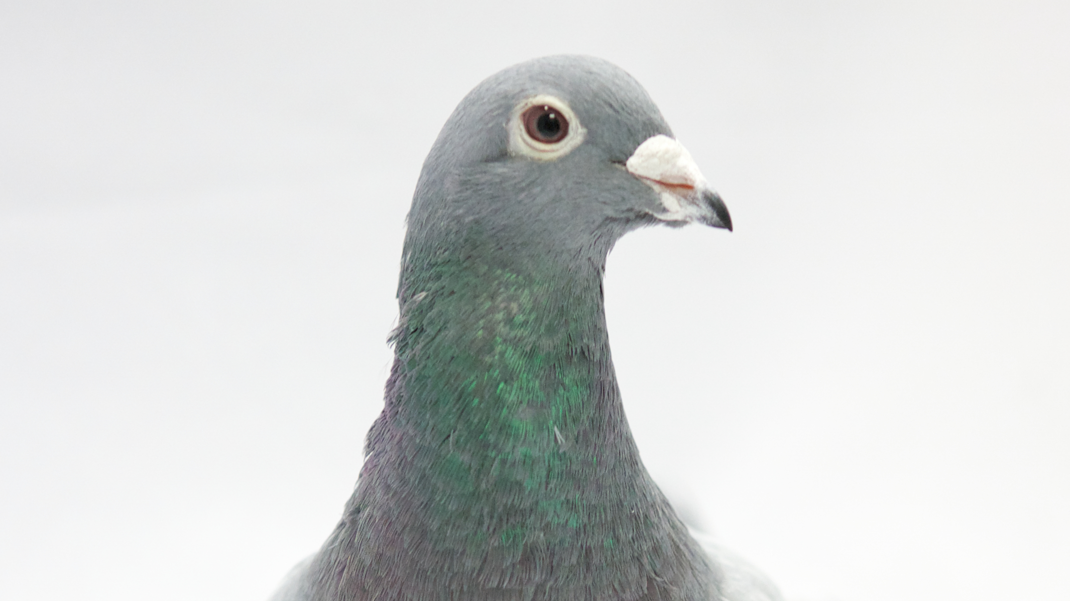 Can Pigeons Spell?