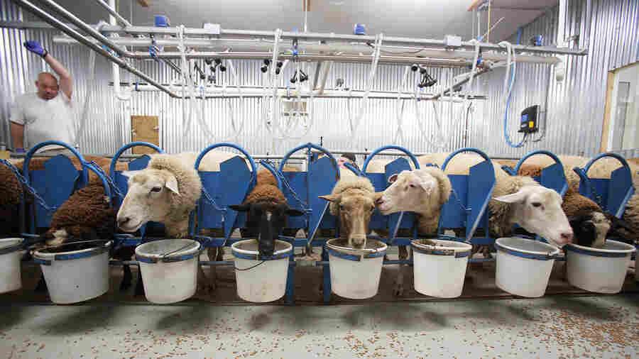 They Dreamed Of Sheep (Farming): Peek Inside An Alabama Dairy