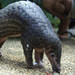 Pangolins, The 'Artichoke With Legs,' Earn Top Trade Protection