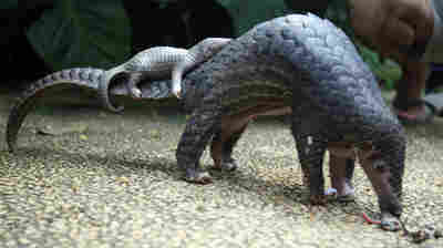 Pangolin, The 'Artichoke With Legs,' Earns Top Trade Protection