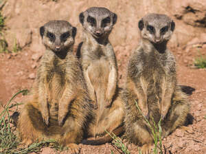 Three meerkats sitting at a zoo. A new study found meerkats are the most murderous mammals.