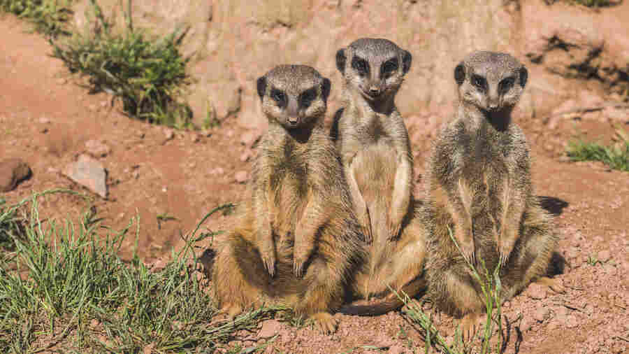 What Meerkat Murder Tells Us About Human Violence