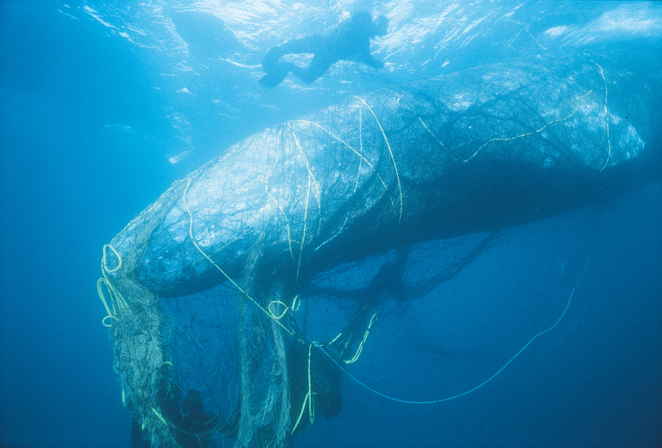 Rescuers untangle a gray whale from ghost net off the coast of California. (Bob Talbot/Marine Photobank/Courtesy of World Animal Protection)