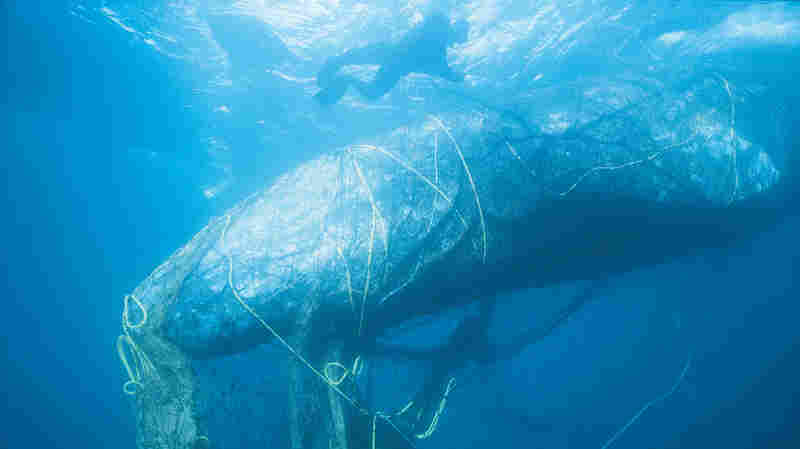 Whales, Sea Turtles, Seals: The Unintended Catch Of Abandoned Fishing Gear