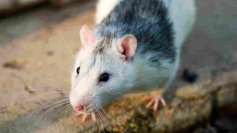 Rats That Reminisce May Lead To Better Tests For Alzheimer's Drugs