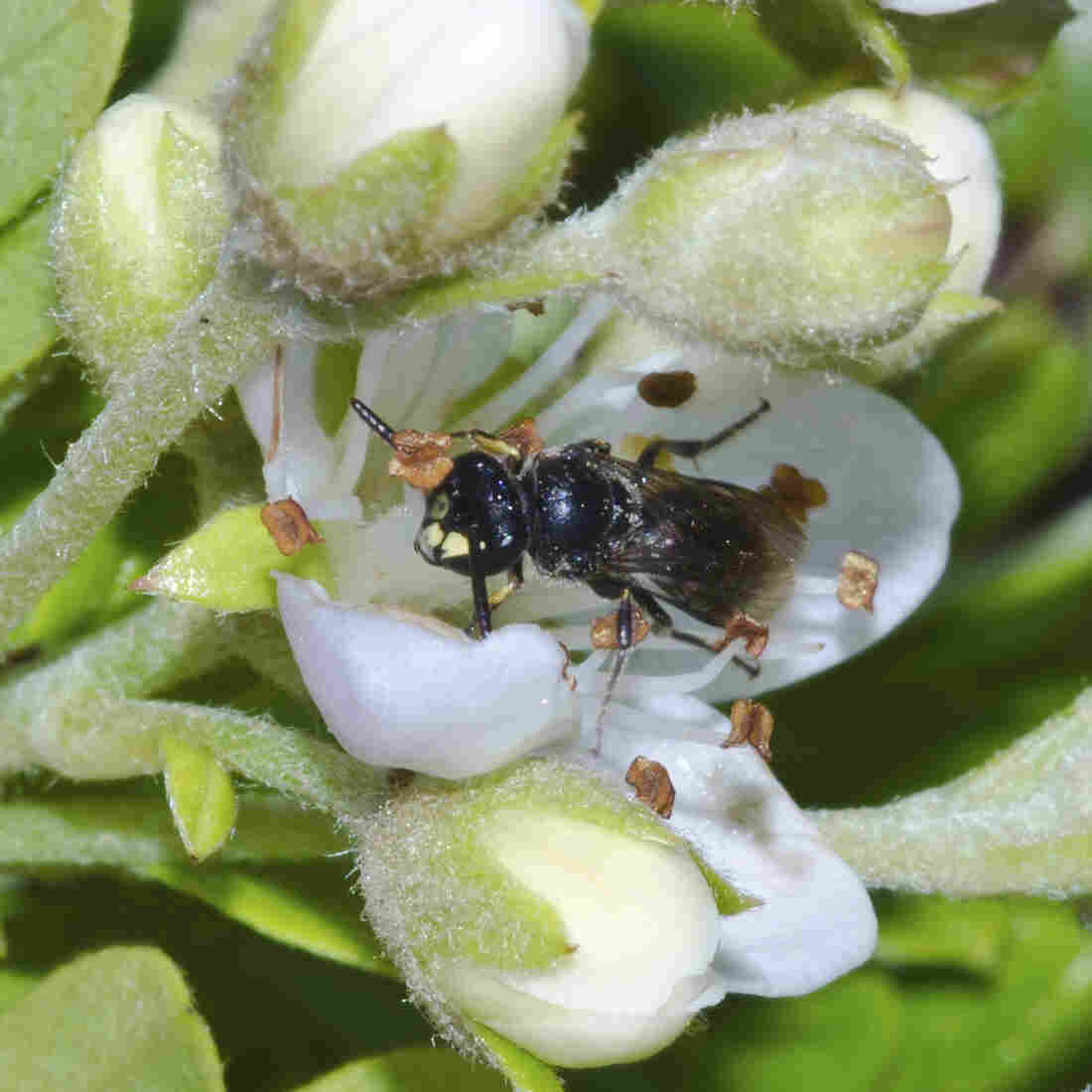 Bees Added To U.S. Endangered Species List For 1st Time