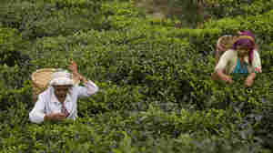 Autumn Flush: The Best Darjeeling Tea You'll (Likely Never) Taste