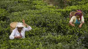 Autumn Flush: The Best Darjeeling Tea You'll (Likely Never) Taste