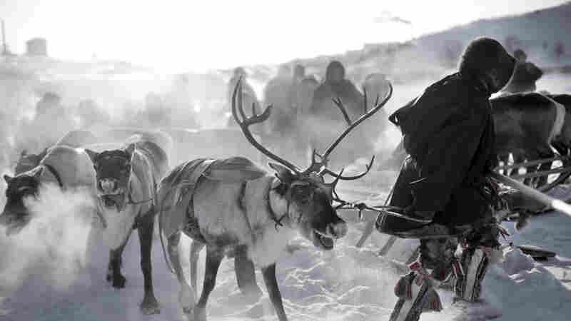 Killing Reindeer To Stop Anthrax Could Snuff Out A Nomadic Culture