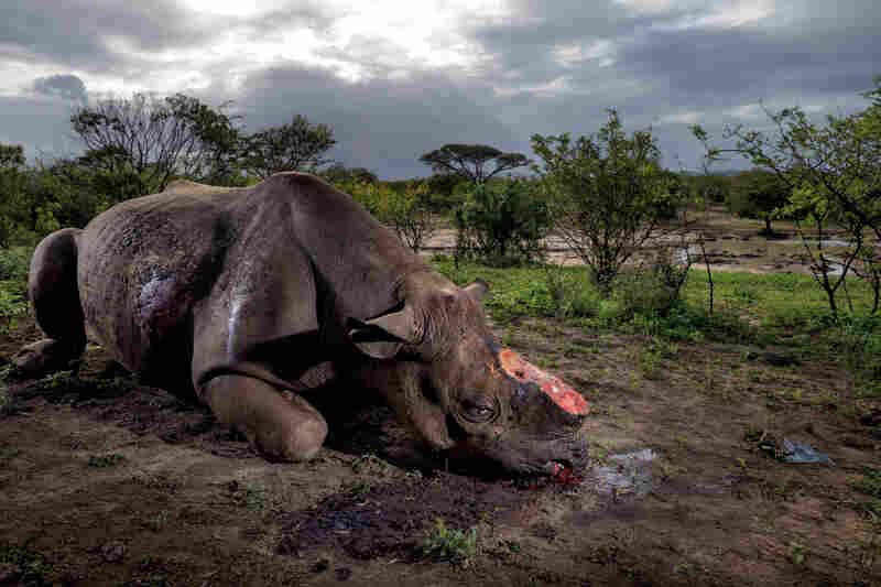 Poachers killed this black rhinoceros for its horn with high-caliber bullets at a water hole in South Africa's Hluhluwe-Imfolozi Park. They entered the park illegally, likely from a nearby village, and are thought to have used a silenced hunting rifle. Black rhinos number only about 5,000 today.