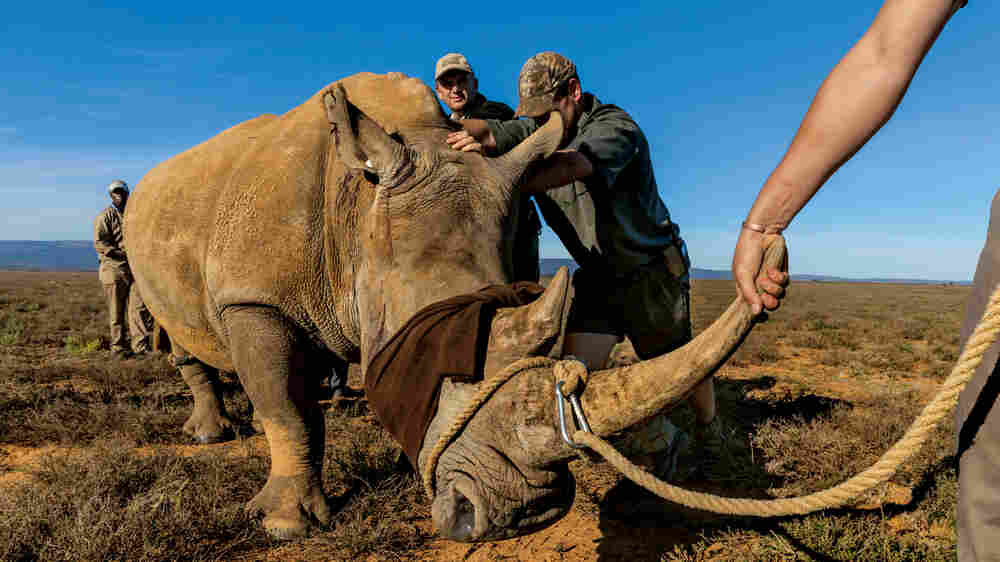 Rhino Horn: The Most Valuable Appendage In Illegal Wildlife Trade